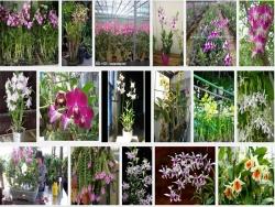 Các bệnh và sâu hại thường gặp ở lan Hoàng Thảo - Dendrobium