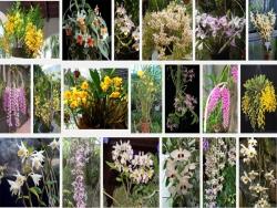 Kỹ thuật cơ bản trồng và chăm sóc lan Dendrobium - Hoàng Thảo