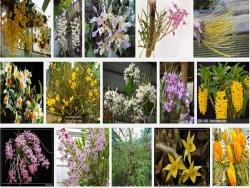 Cách nhân giống lan Dendrobium