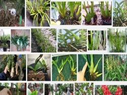 Kỹ thuật tách nhánh, trồng và chăm sóc Địa lan Việt theo cách truyền thống