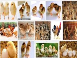 Phương pháp chọn gà con giống tốt