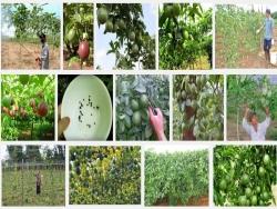 Kỹ thuật trồng Chanh Dây Đài Loan
