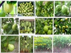 Hướng dẫn kỹ thuật trồng ổi tứ quý (Đông Dư, ổi găng)