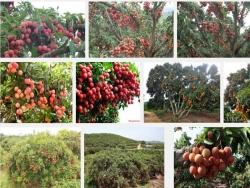 Kỹ thuật trồng và chăm sóc cây Vải Thiều