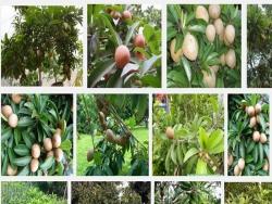 Kỹ thuật trồng cây Hồng Xiêm chiết cành nhanh ra quả