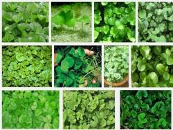 Cách trồng và chăm sóc cây rau Má