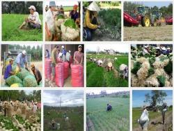 Kỹ thuật trồng cây Kiệu cho năng suất cao
