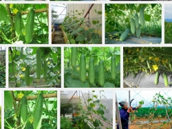 Hướng dẫn kỹ thuật trồng cây Dưa Leo