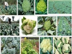 Hướng dẫn kỹ thuật trồng và chăm sóc cây Súp lơ