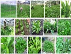 Kỹ thuật trồng cây Ngò Gai