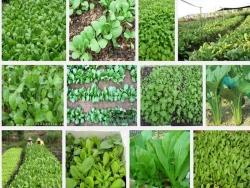 Kỹ thuật trồng Cải Ngọt ít sâu bệnh