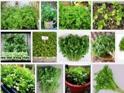 Kỹ thuật trồng và chăm sóc cây rau Mùi