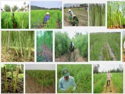Kỹ thuật, quy trình trồng cây Măng Tây xanh hiệu quả, ít sâu bệnh