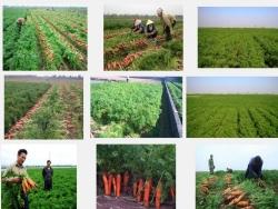 Kỹ thuật trồng và chăm sóc cây Cà Rốt