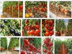 Hướng dẫn kỹ thuật trồng cây Cà Chua sai quả