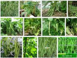 Hướng dẫn kỹ thuật trồng đậu Cô ve leo