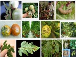 Sâu bệnh hại cây Cà Chua và biện pháp phòng trị