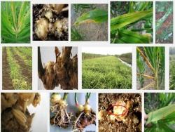 Các loại sâu bệnh hại thường gặp ở cây Gừng