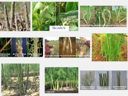 Biện pháp phòng ngừa bệnh hại cây Măng tây xanh