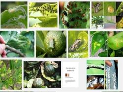 Các loại sâu bệnh hại cây cam quýt bưởi và cách phòng trị (P2)