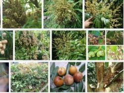 Một số sâu bệnh thường gặp trên cây Nhãn