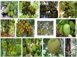 Một số sâu bệnh thường gặp trên cây Mít và cách phòng trừ