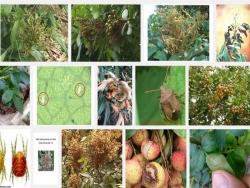 Các loại sâu bệnh thường gặp trên cây Vải và biện pháp phòng trừ