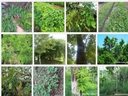 Kỹ thuật trồng cây Gỗ Trắc Đỏ