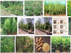 Kỹ thuật trồng và chăm sóc cây gỗ Đàn Hương