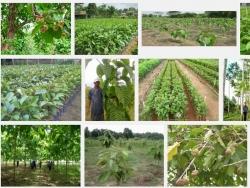 Kỹ thuật trồng cây Thiên Ngân