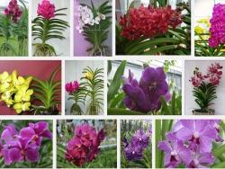 Kỹ thuật trồng lan Vanda - Vân lan