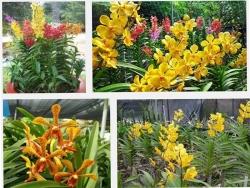 Kinh nghiệm trồng lan Mokara