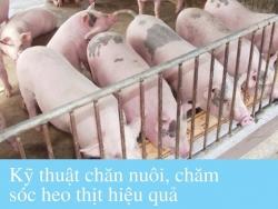 Kỹ thuật chăn nuôi, chăm sóc heo thịt hiệu quả