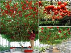 Hướng dẫn chi tiết từng bước trồng cà chua leo giàn