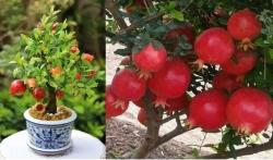 Kỹ thuật trồng cây lựu đỏ lùn trong chậu làm cảnh tại nhà