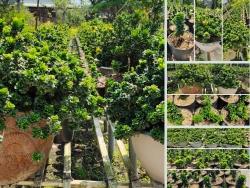 Trồng cây ngâu trước nhà có tốt không? Giá bán, đặt mua cây ngâu tàu trên Nông Nghiệp Nhanh