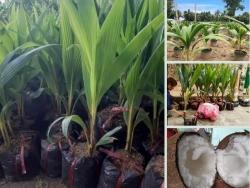 Top các giống dừa xiêm dừa khô có giá trị kinh tế cao trên Nông Nghiệp Nhanh