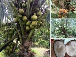 Top các loại dừa xiêm uống nước ngon nhất bán chạy nhất tại Nông Nghiệp Nhanh