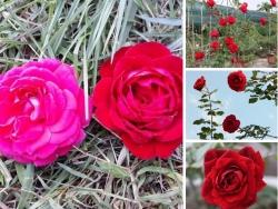 Giá hoa hồng cổ Hải Phòng nguyên bản, đột biến, ghép - Nông nghiệp nhanh tư vấn mua hoa hồng leo đẹp