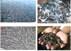 Kỹ thuật chọn cá giống thả cá giống đạt tỉ lệ sống cao