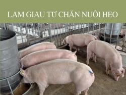 Làm giàu từ chăn nuôi heo