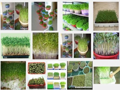 Rất dễ dàng để có thể tự trồng rau mầm sạch tại nhà
