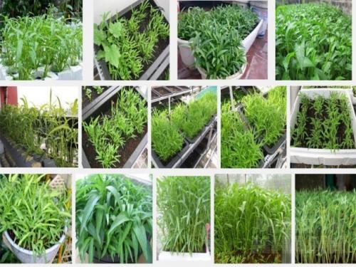 Hướng dẫn cách trồng rau muống trong thùng xốp tại nhà an toàn mà vẫn xanh non mơn mởn