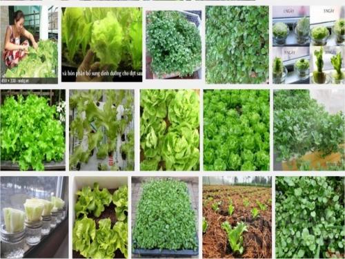 Kĩ thuật trồng rau xà lách tại nhà rất đơn giản và dễ trồng