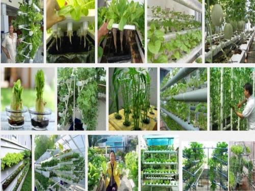 Trông rau sạch tại nhà bằng phương pháp thuỷ canh hiện nay rất được ưa chuộng tại các thành phố lớn