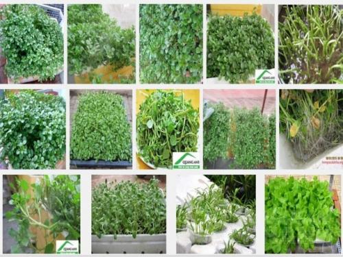 Cải xoong rất dễ chế biến và chứa rất nhiều vi chất dinh dưỡng, bạn có thể trồng cải xoong sạch tại nhà để chế biến cho cả gia đình mình