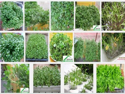 Hướng dẫn cách trồng rau cải xoong sạch tại nhà, 7, Mai Tâm, Nông Nghiệp Nhanh, 21/10/2016 16:45:39