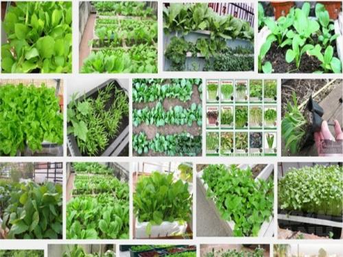Trồng rau ăn lá tại nhà rất đơn giản và dễ trồng