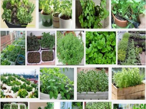 Rau thơm rất dễ trồng, có thể trồng rau trong các chậu nhỏ và để ngoài ban công hay bên cửa sổ