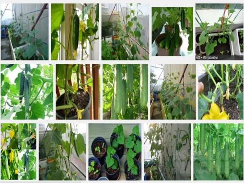 Hướng dẫn cách trồng Dưa Chuột sạch tại nhà, 11, Mai Tâm, Nông Nghiệp Nhanh, 31/10/2016 15:07:25